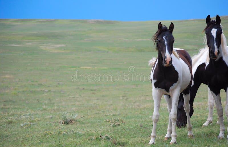 Brown scuro e cavalli bianchi della vernice fotografia stock libera da diritti