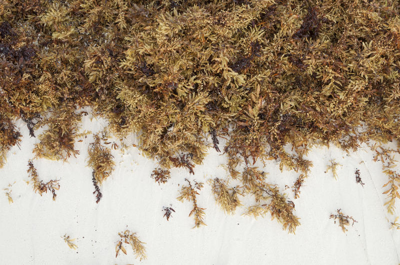 Brown sea algae and white sand. Thick clump of brown Sargassum fluitans sea algae on fine white sand beach in Cancun, Mexico stock photography