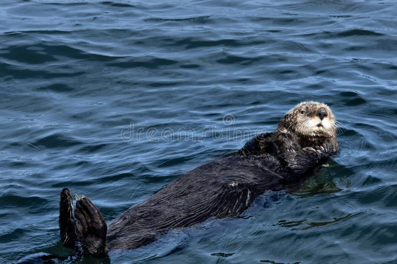 A brown sea otter floating on its back. A sea otter with brown fur floating on its back with its paws on either side of its cute face in the waters off Seldovia stock image