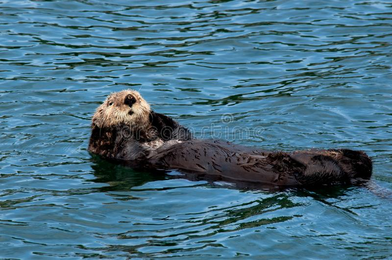 A brown sea otter floating on its back. A sea otter with brown fur floating on its back with its paws on either side of its cute face in the waters off Seldovia royalty free stock photography
