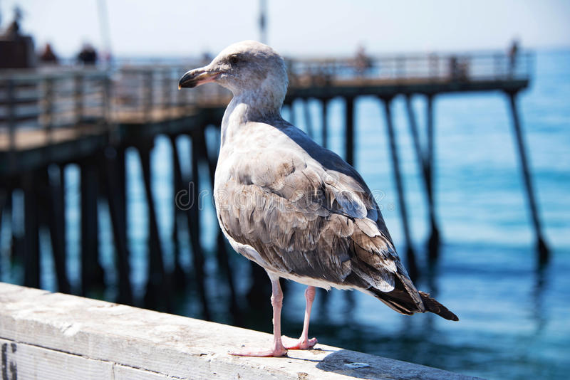 A Brown Seagull on the Pier stock photo