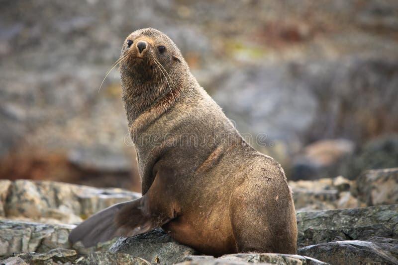 Download The brown seal stock image. Image of life, ocean, danger - 17012701