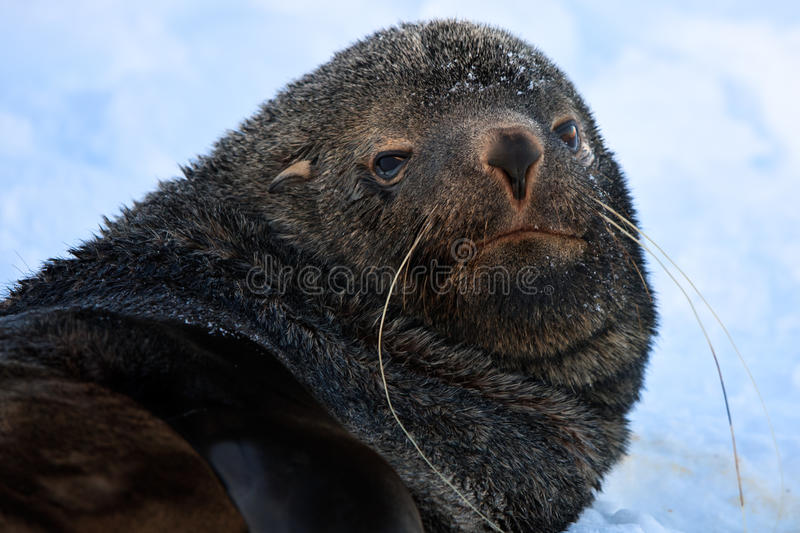 Download The brown seal stock photo. Image of male, head, mammal - 17012734