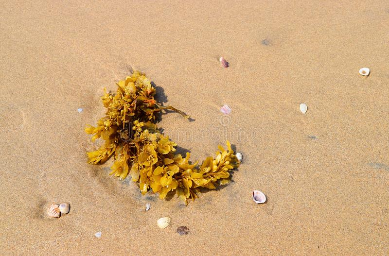 Brown Seaweed - Algae - Phaeophyta - on Beach. This is a photograph of brown seaweed, also called brown algae or phaeophyta, captured on a sandy beach in stock photos