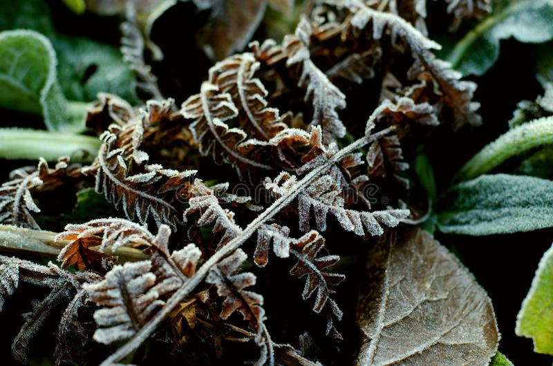 Brown seco Fern Leaf no esmalte de Frost fotografia de stock