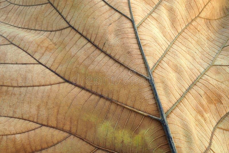 Brown secou a folha Textura do detalhe da mostra da folha da teca de folha no fundo, foco seletivo foto de stock