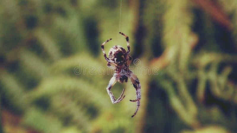Brown Shamrock Spider Free Public Domain Cc0 Image