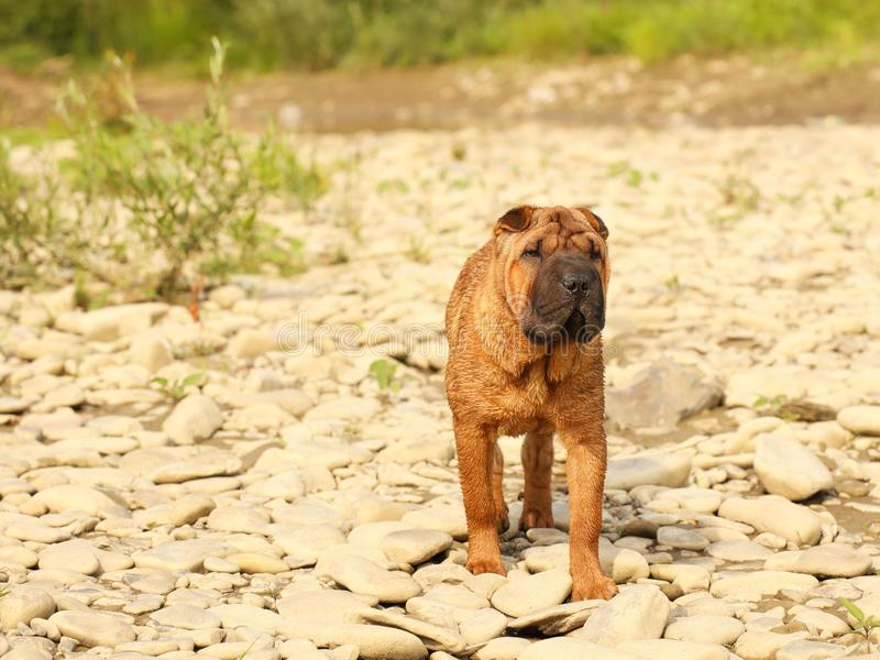 A brown sharpei dog puppy is walking towards the rocky ground. Walking a pet in nature. Breeding thoroughbred dogs in kennels. Veterinary medicine of four stock image