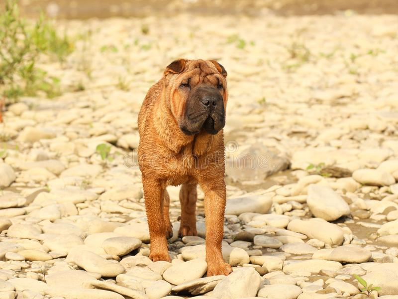 A brown sharpei dog puppy is walking towards the rocky ground. Walking a pet in nature. Breeding thoroughbred dogs in kennels. Veterinary medicine of four stock photo