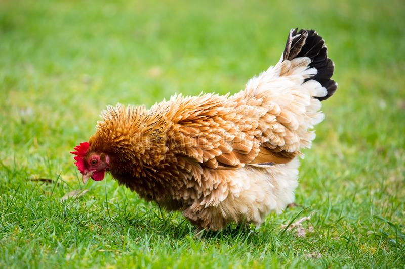 Brown Shaver Hen. A brown shaver hen happily searches for food in a grassy paddock in New Zealand stock images