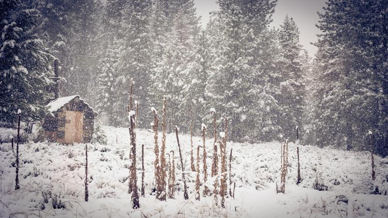 Brown Shed Near Green Pine Trees during Snow royalty free stock images