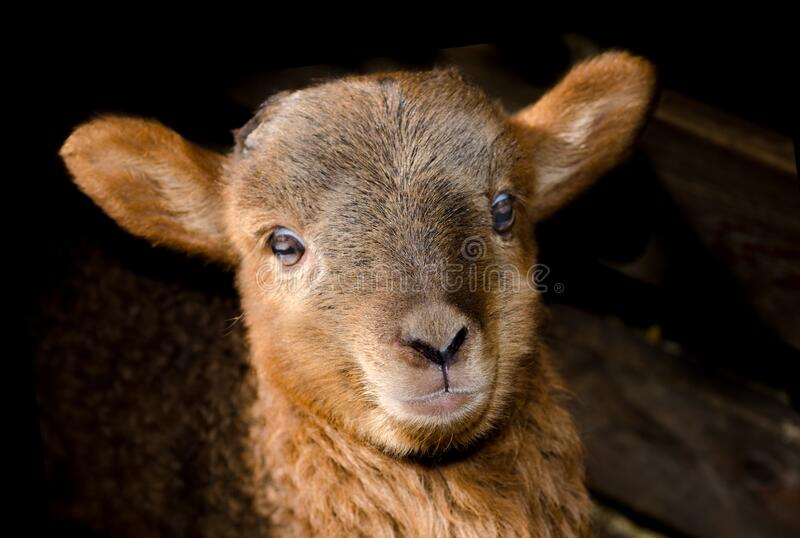 Brown Sheep Close Up Photography stock images