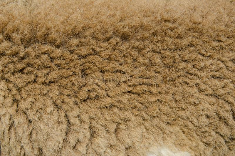 Brown sheep wool. Very closeup brown sheep wool and fure in the farm stock image
