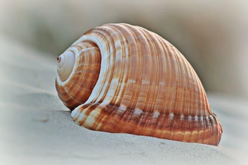 Brown Shell nella macro fotografia sparata fotografie stock libere da diritti