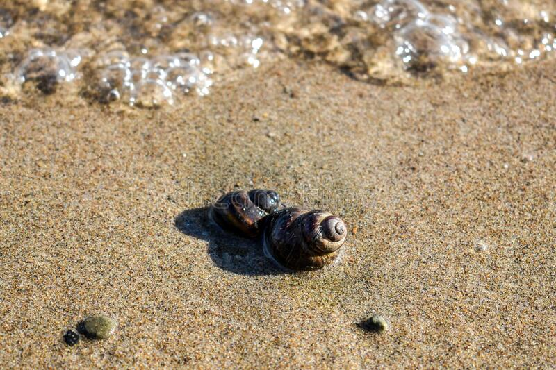 Brown shell on the sand in the foreground, small pebbles, close-up river snail. Marine background for presentations, ecology, fishing, countryside, outdoor royalty free stock image