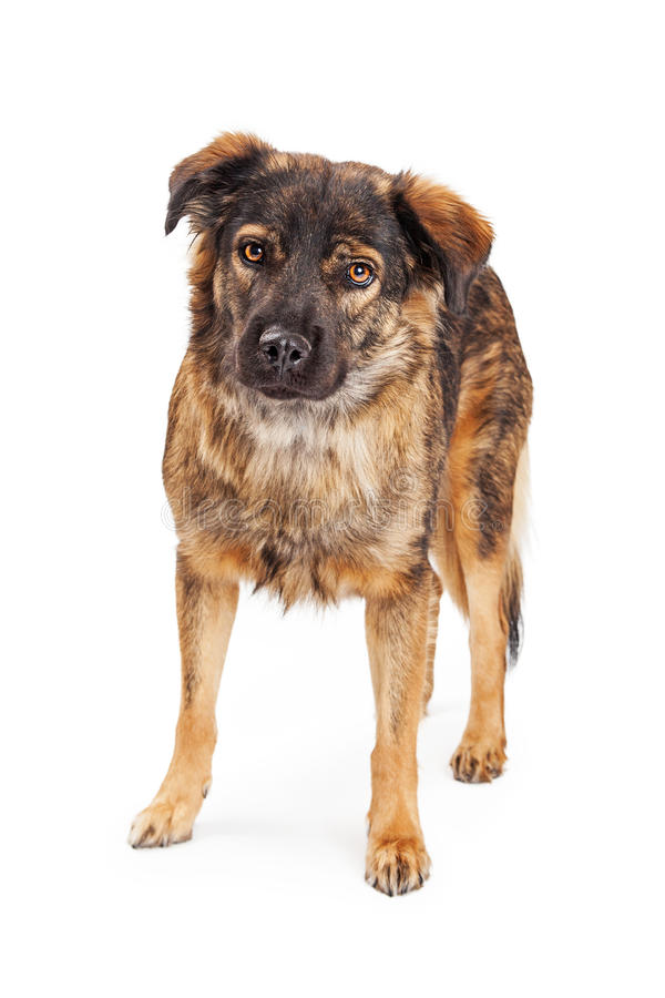 Brown Shepherd Crossbreed Dog. Large brown and black color mixed Shepherd breed dog standing over white stock photography