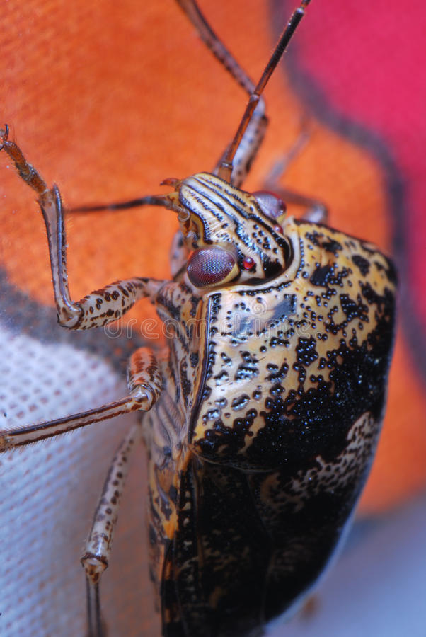 Brown shield bug stock image