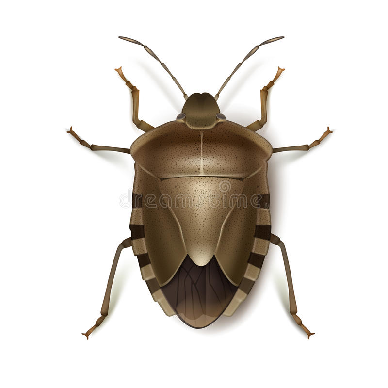 Brown shield bug. Vector Brown Marmorated Stink bug close up top view isolated on white background vector illustration