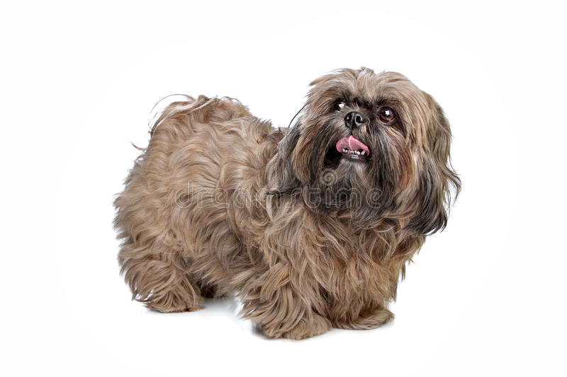 Download Brown Shih Tzu dog stock image. Image of mammal, canine - 22881257