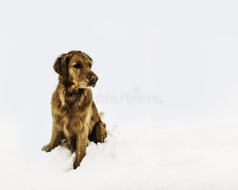 Brown Short-coated Dog Sitting on the Snow Field stock photos