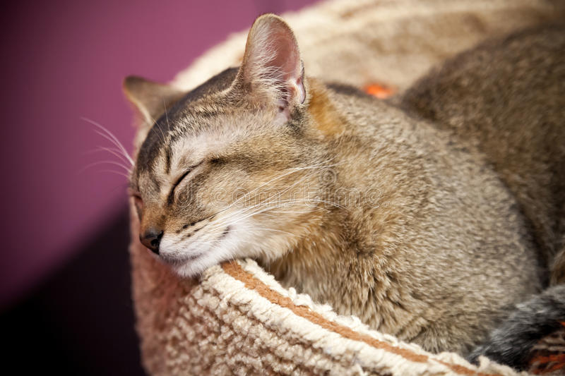 Download Brown Short-haired Cat Sleeps Stock Image - Image: 29413659