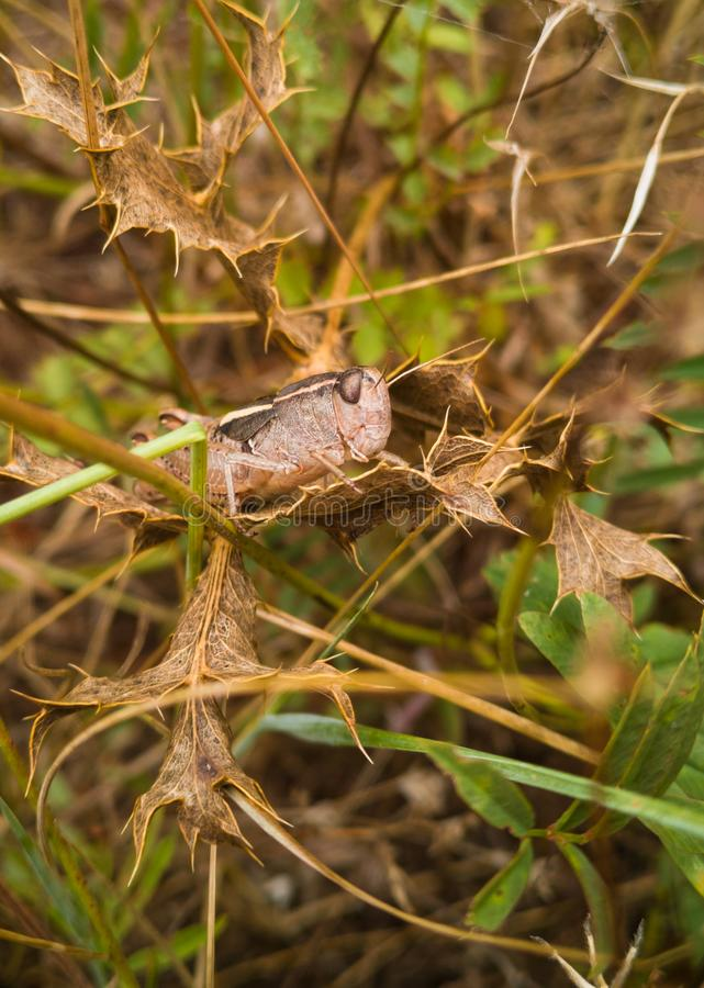 Brown Shorthorned Grasshopper on dry leaves. A Brown Shorthorned Grasshopper, Acrididae, hiding in perfect camouflage with dry Thistle plant leaves at the royalty free stock photos