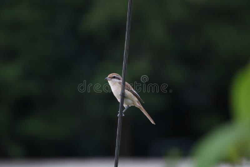 Brown Shrike immagine stock