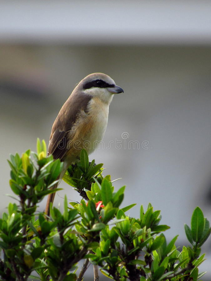 A Brown Shrike Perched On Fence. Brown Shrike, a rather common migratory Malaysian Garden bird, perching on my fence one fine morning royalty free stock photography