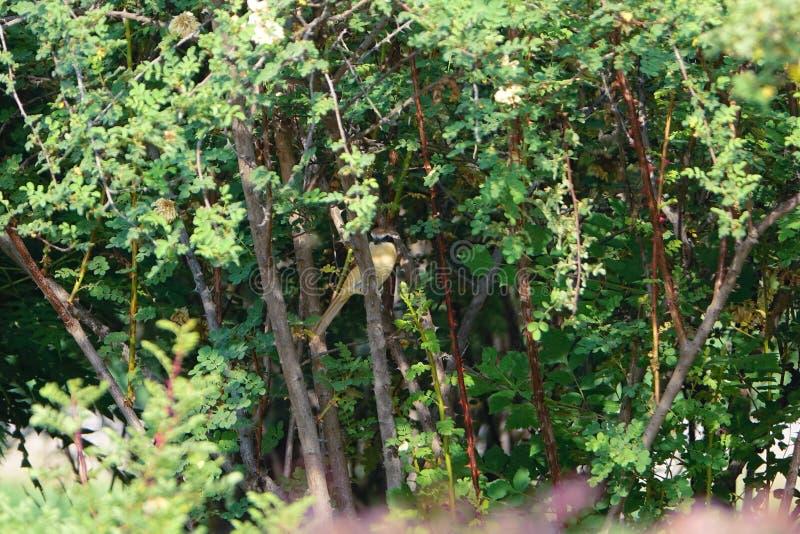 Brown Shrike royalty free stock images