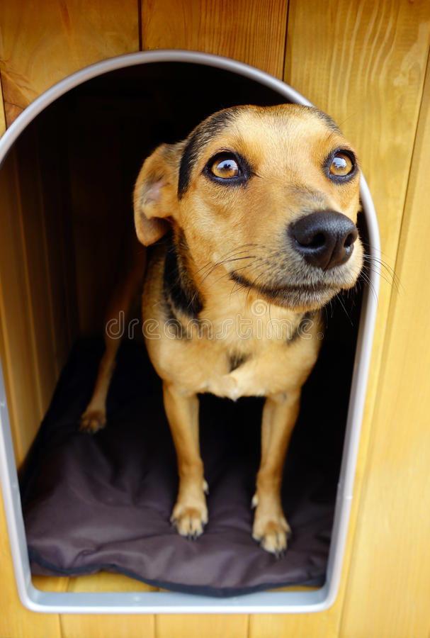 Brown Small Dog in Doghouse Shelter royalty free stock photo