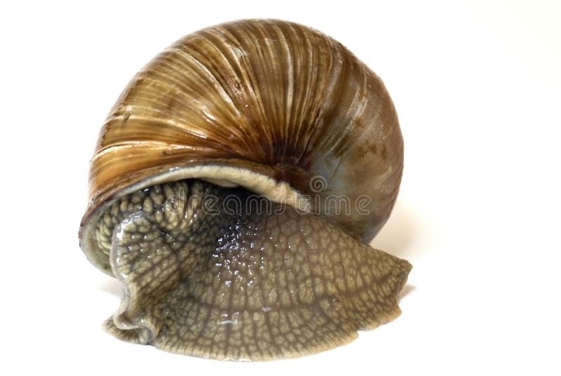 Brown snail royalty free stock image