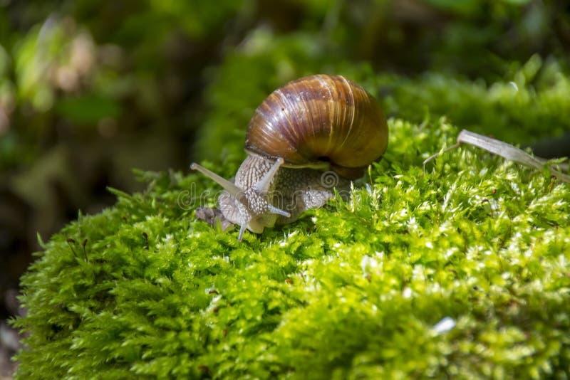 Brown Snail royalty free stock photo