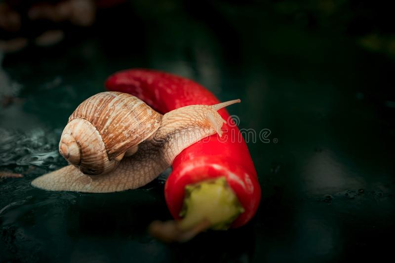 Brown Snail Crawling on Red Chili stock photo