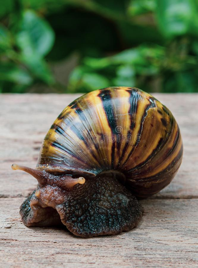 Giant Brown Snail stock images