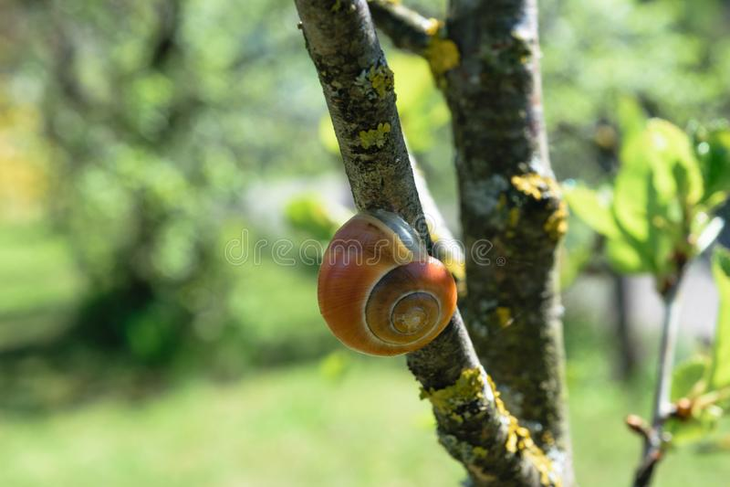 Brown Snail Hanging on Tree Branch in Springtime Morning stock photography