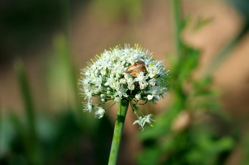 Brown snail hiding inside dense white fully open blooming flowers growing in shape of small round ball on single thick green stem. In local garden on warm sunny stock images