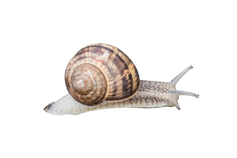 Brown snail with spiral shelter isolated on white background. Styled stock photo royalty free stock photos