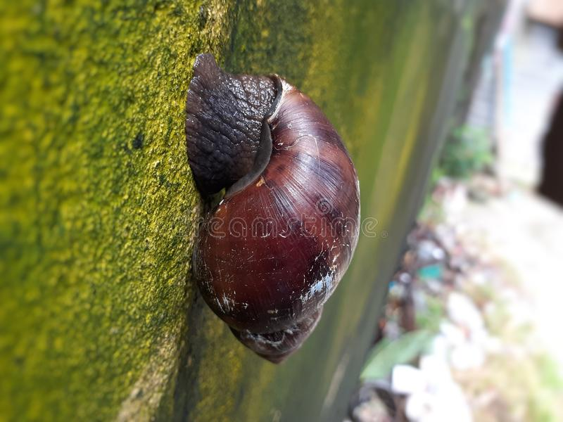 Brown Snail walking on the wall stock image