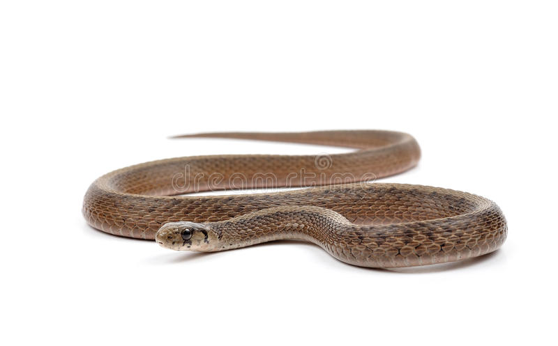 Brown Snake royalty free stock images