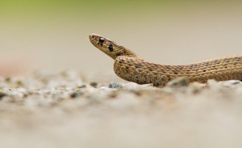 Download Brown Snake stock image. Image of brune, mirceax, orange - 25126401