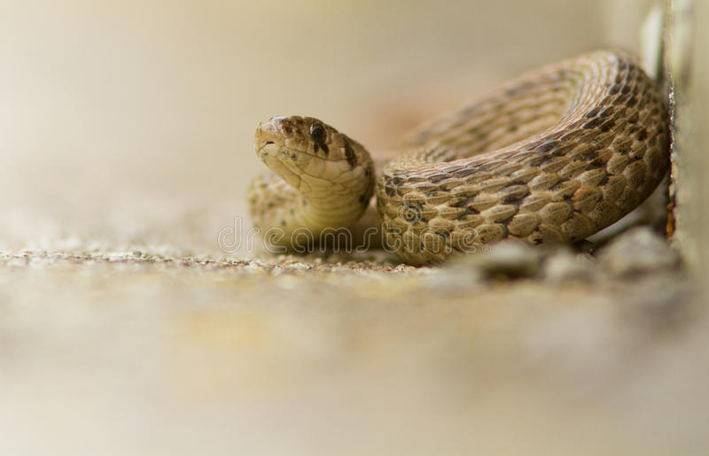 Brown Snake Royalty Free Stock Photo