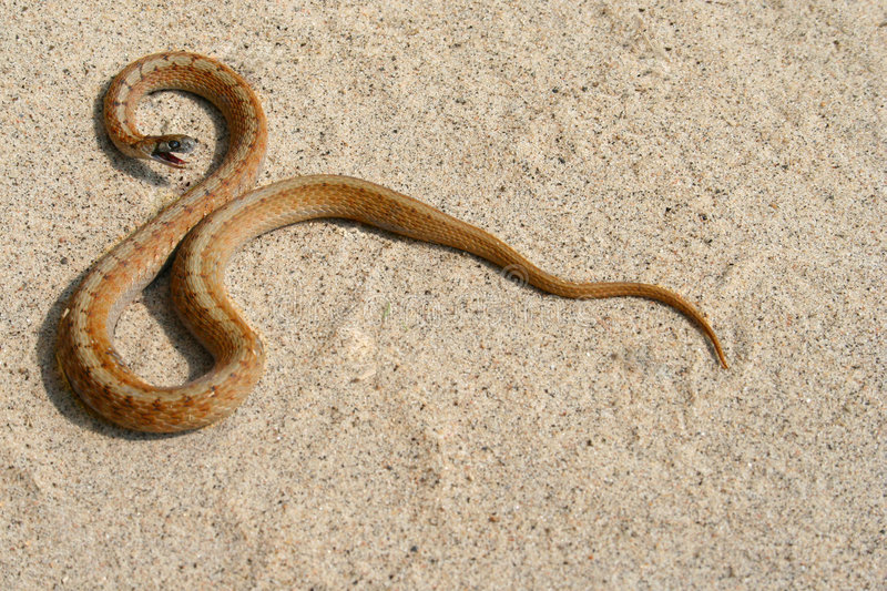 Brown Snake. A baby brown snake i found at work royalty free stock photos