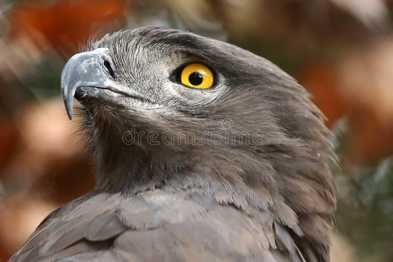 Brown Snake Eagle stock photo