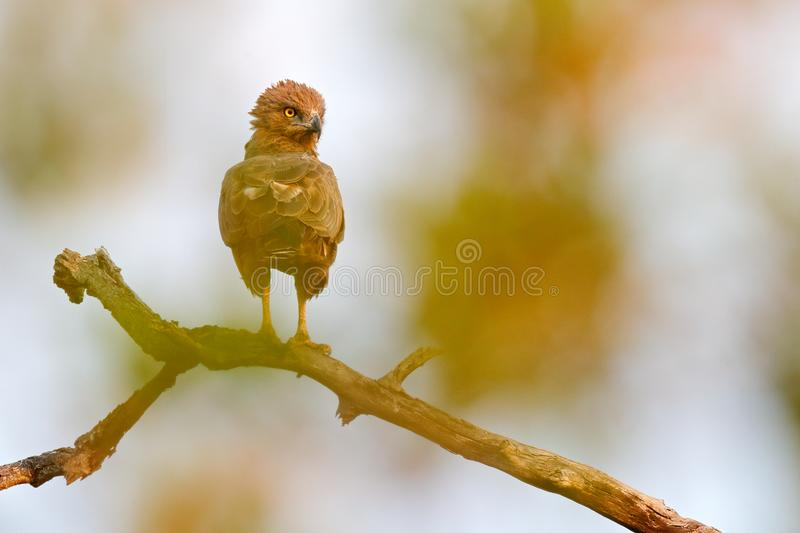 Brown snake eagle, Circaetus cinereus, brown and black bird of prey in the nature habitat, sitting on the branch, Kruger NP, South. Africa. Wildlife scene from royalty free stock photos