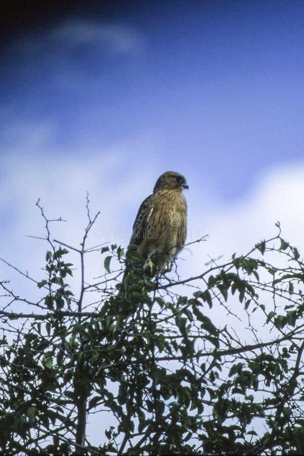 Brown Snake Eagle stock images
