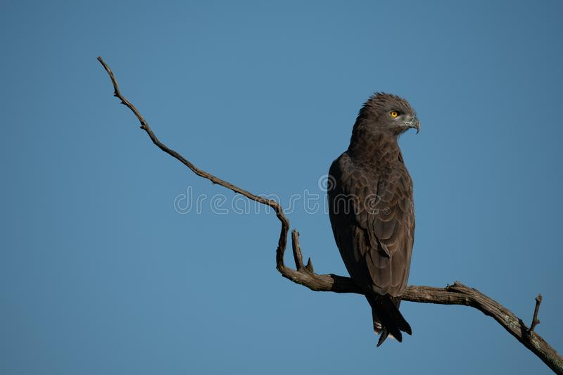 Brown snake-eagle on dead branch turning head stock photography