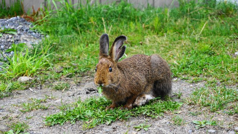Brown snowshoe hare eating green grass close up. royalty free stock photo
