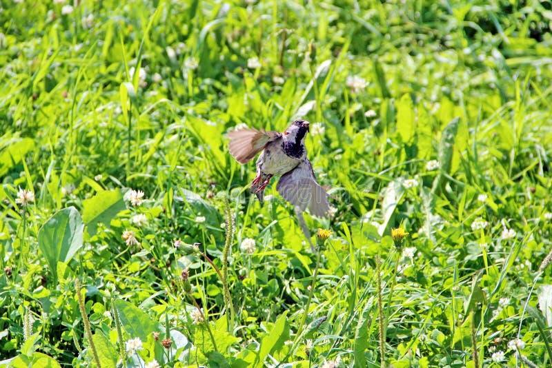 Brown-Spatz, der oben vom grünen Gras, Nahaufnahme fliegt stockfoto