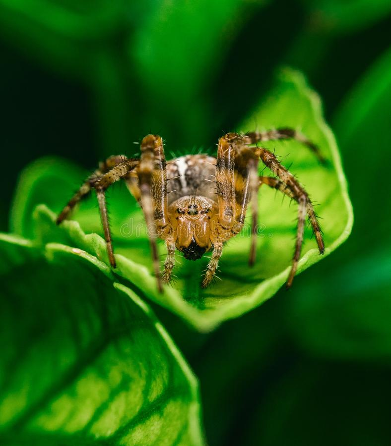 Brown Spider stock image