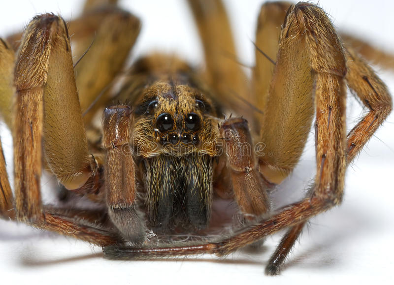 Download Brown spider stock image. Image of extreme, scary, small - 26975881